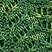 Norfolk Island Pine Cowl pattern