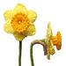 Daffodils pattern