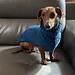 Mini Pupper Sweater pattern