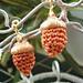 Crocheted Acorn for Natural Acorn Cap pattern