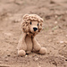 Rufus the Lion pattern