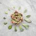 Rosette Succulent pattern