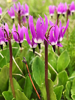 """Photo from Bureau of Land Management, """"Shooting Star Wildflower""""  NOT my copyright."""