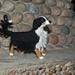 Bernese Mountain Dog pattern