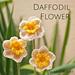 Daffodil Flower pattern