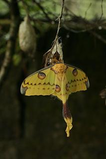 The Madagascan Moon Moth, Argema mittrei.