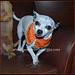 Pumpkin Spice Dog Collar pattern