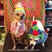 Birthday Dog Hat With Pom poms pattern
