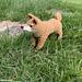 Shiba Dog (Shiba Inu ) amigurumi | 柴犬のあみぐるみ pattern