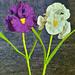 Iris flower long bearded pattern