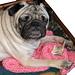 Pug Dog Blanket pattern