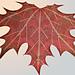 Maple Leaf Shawl pattern
