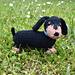 Dachshund Puppy pattern