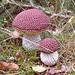 Cep or Porcino mushroom pattern
