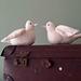 White dove pattern