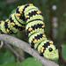 Striped Caterpillar pattern