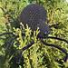 Black Widow Amigurumi pattern