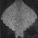 Canezou pattern