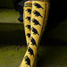 Hufflepuff Pride Socks pattern