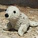 Baby Harp Seal pattern