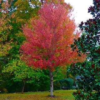 Maple Tree in my back yard